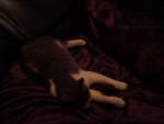 Chat chat de goutiere souris -   (0 mois)