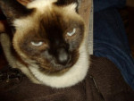 Chat Minette, siamoise -   ()