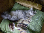 Chat domestique-Sissi -   (0 mois)