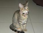 Chat chat de gouttiere : Enza -   (0 mois)