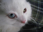 Chat Lilas -   (0 mois)