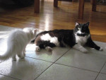 Chat Domino -   (0 mois)