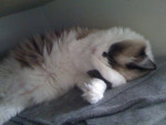 Chat misty -   (0 mois)