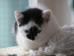 Chat Litchy -   (0 mois)