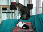 Chat Litchy & Gizmo -   (0 mois)