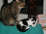 Chat Gizmo & Litchy -   (0 mois)