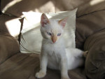 Chat cream point siamois Nuage -   (0 mois)