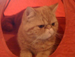 Chat easydoor de catsanders, exotic shorthair -   (0 mois)