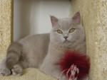 Chat british shorthair/edward -   (0 mois)