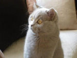 Chat british shorthair/edward -   ()