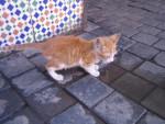 Chat Choumit (petit chat de Marrakech) -   ()