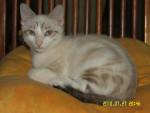 Chat calypso -   (0 mois)