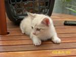 Chat Calypso tout petit -   (0 mois)