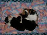 Chat fani et les chiot -  Femelle (0 mois)