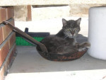 Chat Mistigri femelle née en 1996 -   ()
