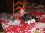 Chat Mistigri à gauche /Calinou (femelle née en 2008)à droite -   (0 mois)