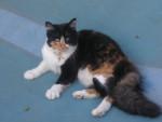Chat Calinou femelle née en 2008 -   ()