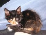 Chat Calinou âgée de 2 ou 3 mois -   (3 mois)
