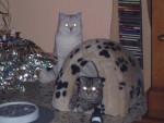 Chat Elmer et Frida  -   (0 mois)