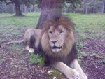 Chat The lion king ...Thoiry (78) -   (0 mois)