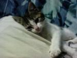 Chat Monoï -   (0 mois)
