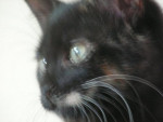 Chat Mia chat écaille de tortue -   (0 mois)