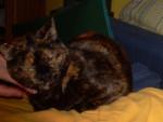 Chat Caramelle, écaille de tortue -   (0 mois)
