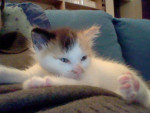 Chat Darwine bébé -   (0 mois)