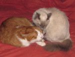 Chat Ulysse et Flanelle -  Femelle (0 mois)