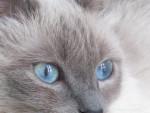 Chat Flanelle -  Femelle (0 mois)