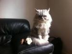 Chat Junior alias Simba du Domaine de Callouey -   (0 mois)