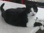 Chat Chat de gouttière Betty -   (0 mois)