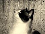 Chat Mirage, le plus beau !  -   (0 mois)