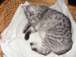 Chat chat croise    JOLI COEUR -   (0 mois)