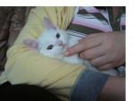 Chat Pinut -  Femelle (3 mois)
