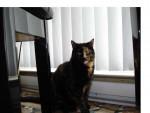 Chat Pouchi -  Femelle (4 ans)