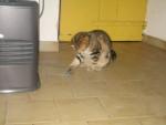 Chat Pipo -  Mâle (8 mois)