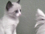 Chat mosi -  Femelle (4 mois)