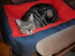 Chat Wallace -  Mâle (2 ans)
