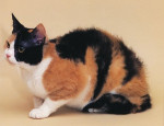 Chat American Wirehair -   (0 mois)