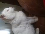 Chat Snow -  Mâle (0 mois)
