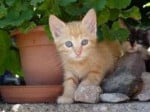 Chat GIOIA -  Femelle (10 mois)