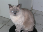 Chat Siamois -   (8 ans)