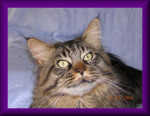 Chat Thor -   (0 mois)