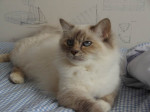 Chat Siana -   (0 mois)