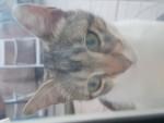 Chat Luna -  Femelle (10 mois)
