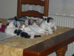 Chat mes bébé -  Femelle (6 mois)