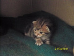 Chat Gribouille 16 jours -  Femelle (0 mois)