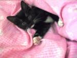 Chat minou -  Femelle (11 mois)