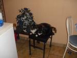 Chat chipie minou -  Femelle (3 ans)